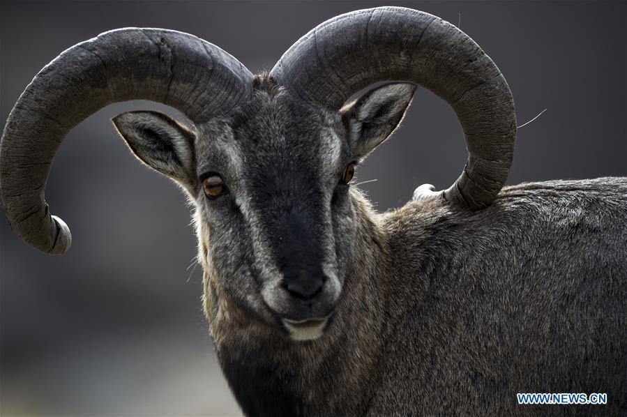 Bharal, also called the Himalayan Blue sheep, is seen at the Helan Mountain National Nature Reserve in northwest China\'s Ningxia Hui Autonomous Region, March 27, 2019. The number of bharal has reached over 40,000 on the Helan Mountain after years of environment renovation. (Xinhua/Feng Kaihua)