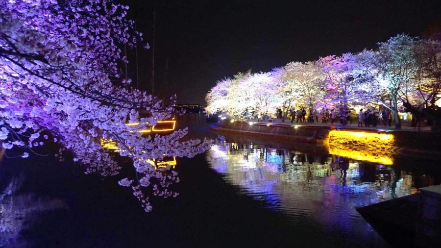 Cherry blossoms at Wuxi\'s Turtle Head Isle scenic spot. (Photo provided to chinadaily.com.cn)