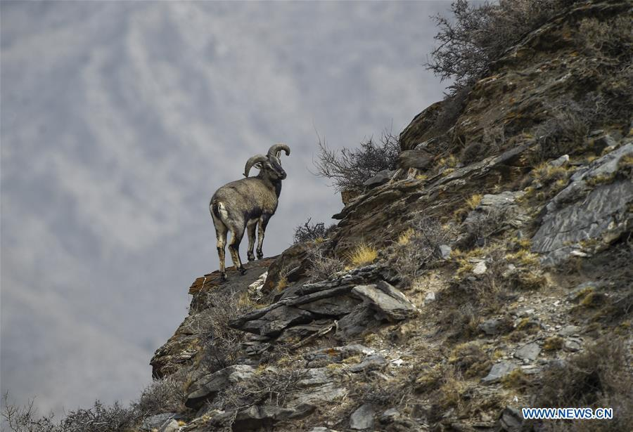 Bharal, also called the Himalayan Blue sheep, stands by a cliff at the Helan Mountain National Nature Reserve in northwest China\'s Ningxia Hui Autonomous Region, March 27, 2019. The number of bharal has reached over 40,000 on the Helan Mountain after years of environment renovation. (Xinhua/Feng Kaihua)