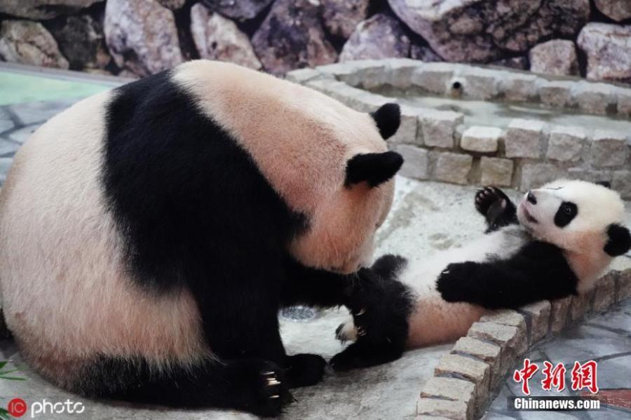 Giant panda Rauhin and her female cub Saihin, born last August, play at Adventure World in Shirahama, Wakayama Prefecture, Japan. The name \