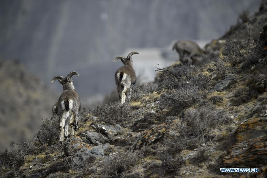 Bharal, also called the Himalayan Blue sheep, search for food at the Helan Mountain National Nature Reserve in northwest China\'s Ningxia Hui Autonomous Region, March 27, 2019. The number of bharal has reached over 40,000 on the Helan Mountain after years of environment renovation. (Xinhua/Feng Kaihua)