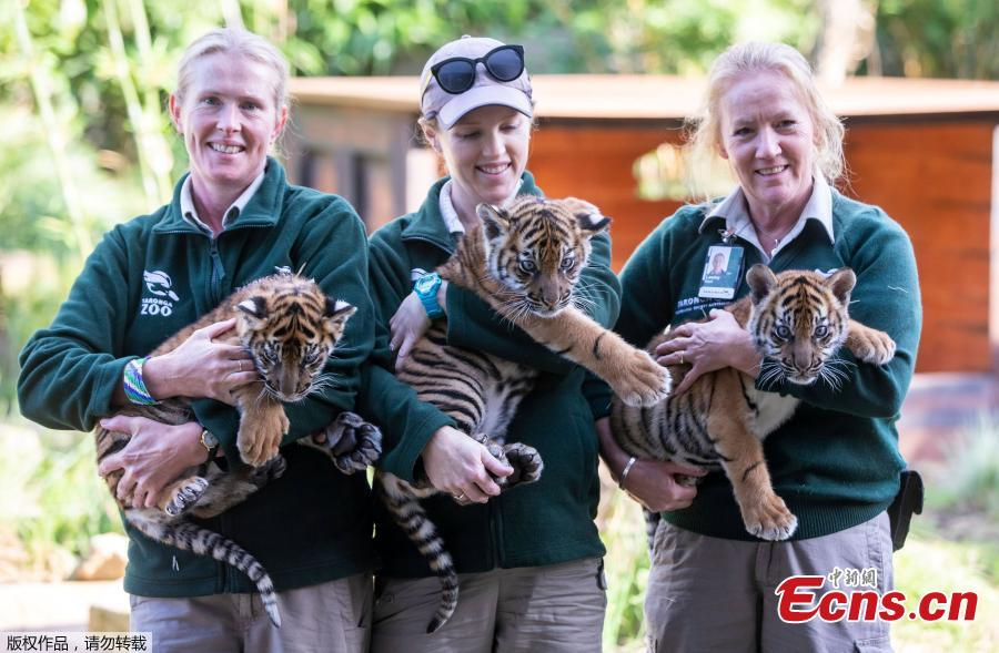 Zookeepers pose with three Sumatran tiger cubs at Taronga Zoo in Sydney, Australia, March 29, 2019.   (Photo/Agencies)