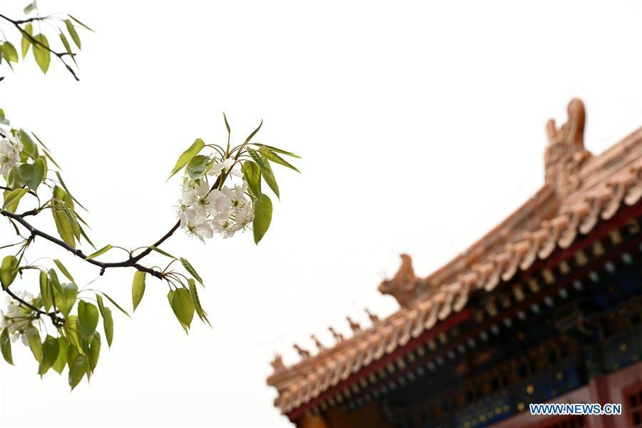 Photo taken on March 28, 2019 shows blooming flowers in the Palace Museum in Beijing, capital of China. (Xinhua/Jin Liangkuai)