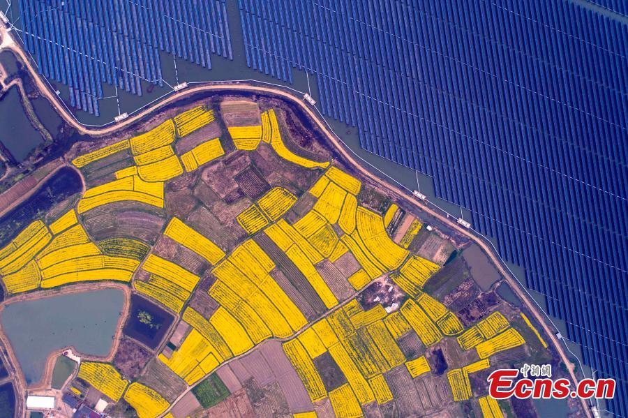 An aerial view of blooming rapeseed flowers next to a photovoltaic power station in Liangyuan Town, Hefei City, East China\'s Anhui Province, March 28, 2019.  The solar panels, installed in a reservoir, cover an area of 160 hectares and generated 110 million kWh of electricity in 2018. Since 2015, the solar park in the water has generated 4 million yuan($590,000)-worth of economic benefits for local farmers. (Photo: China News Service/Zhang Dagang)