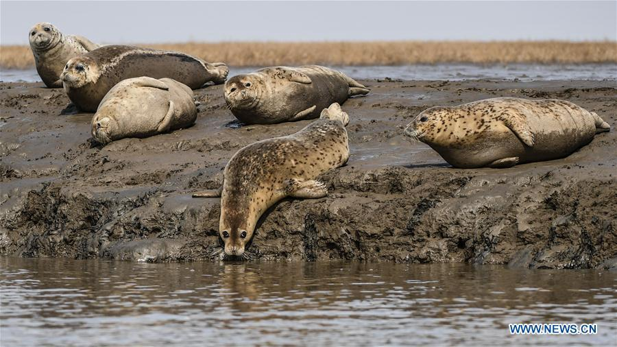 Spotted seals are seen on the coastal mudflat of Sandaogou in Panjin, northeast China\'s Liaoning Province, March 28, 2019. Over 120 spotted seals rest here and will head back to the Pacific regions in late May. (Xinhua/Pan Yulong)