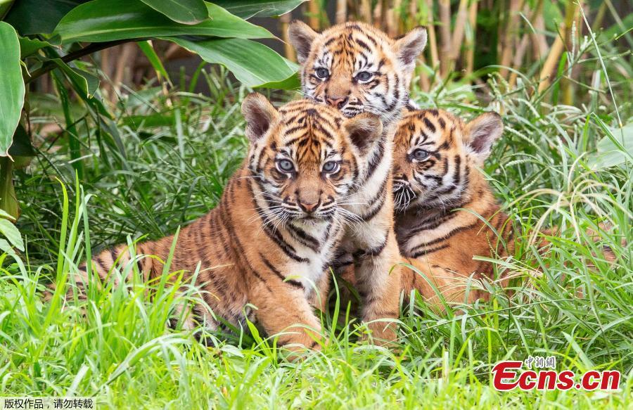 Three Sumatran Tiger cubs are released into the enclosure for display to the public for the first time at Taronga Zoo in Sydney on March 29, 2019.  (Photo/Agencies)