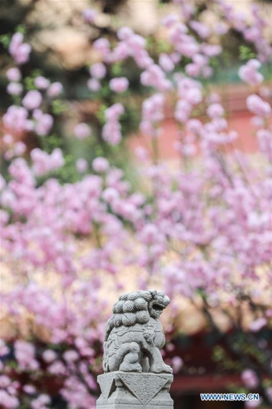 Photo taken on March 28, 2019 shows flowers in the Forbidden City in Beijing, capital of China. (Xinhua/Meng Dingbo)