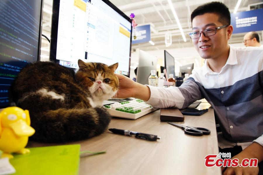An employee cuddles a pet cat in the offices of a company in Shanghai, March 29, 2019. The company has allowed employees to bring their cats or dogs to the office for its internal Pet Day as a way to reduce work stress. (Photo: China News Service/Tang Yanjun)