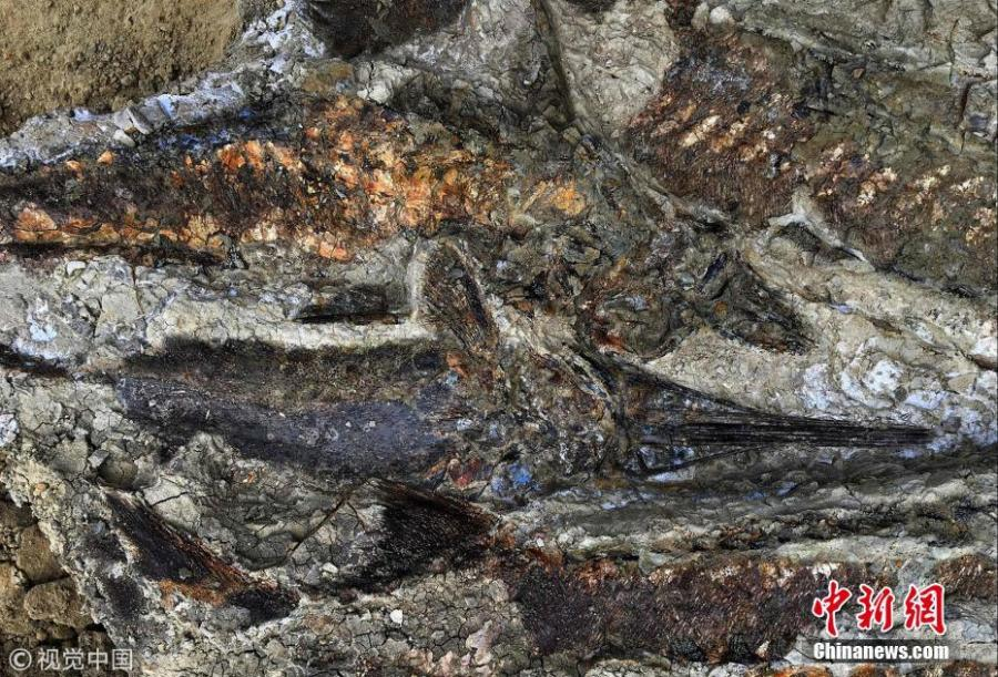 This handout photo obtained March 30, 2019 shows a partially exposed, perfectly preserved 66-million-year-old fish fossil uncovered by Robert DePalma and his colleagues. The scientists have discovered the fossilized remains of a mass of creatures that died minutes after a huge asteroid slammed into the Earth 66 million years ago, sealing the fate of the dinosaurs.(Photo/Agencies)