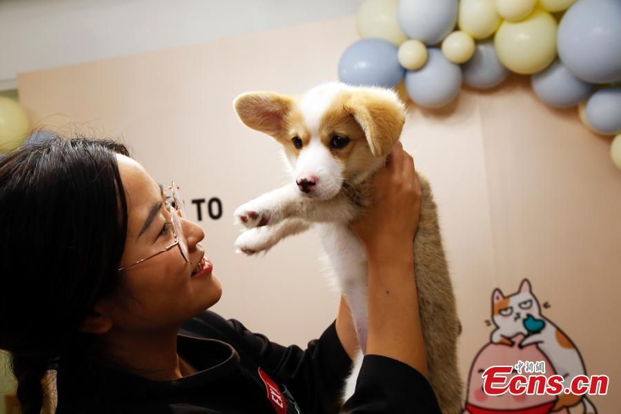 An employee cuddles a pet dog in the offices of a company in Shanghai, March 29, 2019. The company has allowed employees to bring their cats or dogs to the office for its internal Pet Day as a way to reduce work stress. (Photo: China News Service/Tang Yanjun)