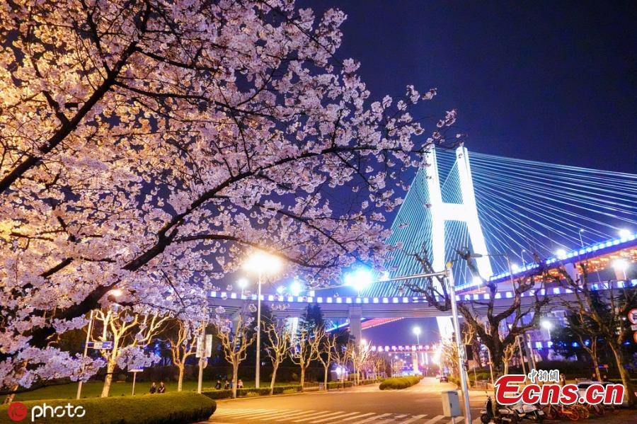Cherry blossom trees in bloom at a bus station under the Nanpu Bridge in Shanghai, March 29, 2019. Netizens have dubbed the bus stop \