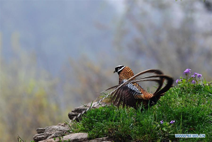 A Reeves\'s pheasant (Syrmaticus reevesii) looks for food on a mountain slope in Guangshui, central China\'s Hubei Province, March 29, 2019. The Reeves\'s pheasant, a bird endemic to China, is a species in the list of the country\'s Class-II protected species. (Xinhua/Mei Yongcun)