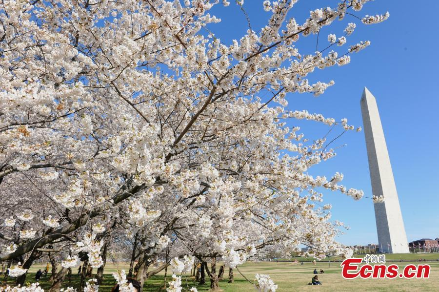 Cherry blossoms are seen around the Tidal Basin in Washington D.C., the United States, on April 1, 2019. The cherry blossoms reached peak bloom on Monday.  (Photo/China News Service)