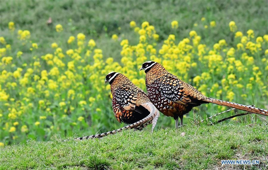 Two Reeves\'s pheasant (Syrmaticus reevesii) look for food on a mountain slope in Guangshui, central China\'s Hubei Province, March 29, 2019. The Reeves\'s pheasant, a bird endemic to China, is a species in the list of the country\'s Class-II protected species. (Xinhua/Mei Yongcun)