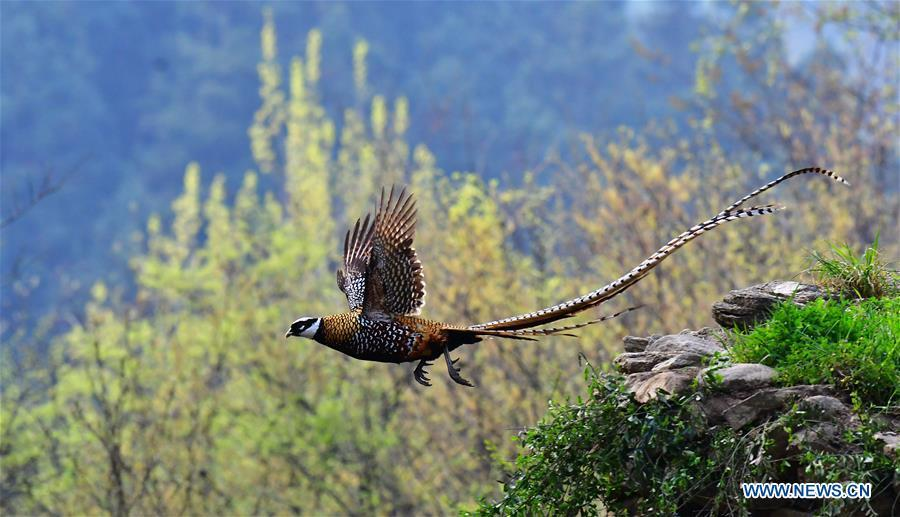 A Reeves\'s pheasant (Syrmaticus reevesii) hovers over a mountain slope in Guangshui, central China\'s Hubei Province, March 28, 2019. The Reeves\'s pheasant, a bird endemic to China, is a species in the list of the country\'s Class-II protected species. (Xinhua/Mei Yongcun)