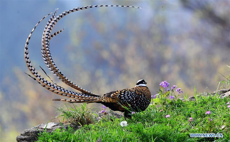 A Reeves\'s pheasant (Syrmaticus reevesii) looks for food on a mountain slope in Guangshui, central China\'s Hubei Province, March 28, 2019. The Reeves\'s pheasant, a bird endemic to China, is a species in the list of the country\'s Class-II protected species. (Xinhua/Mei Yongcun)