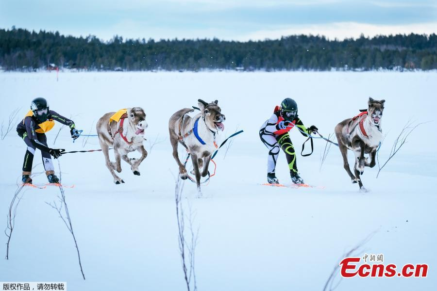 Reindeers and their jockeys are seen as they approach the finish line on the 1 km ice track of the final in the BRP Poro cup reindeer race on a lake in Inari, northern Finland, March 31, 2019. The competition is a six-stage championship run in the north of Finland during the winter months since 1950. Competitors race on skis pulled by a reindeer on a 1000 meter u-shaped track on the snow. (Photo/Agencies)