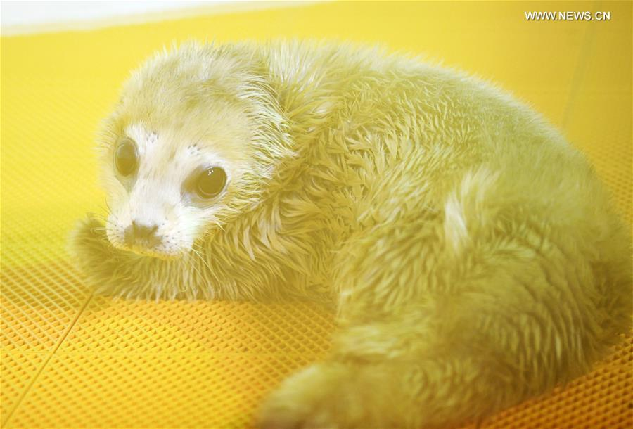 A new-born seal pup rests at Harbin Polarland in Harbin, northeast China\'s Heilongjiang Province, on April 2, 2019. It\'s the first seal pup born at Harbin Polarland in the Chinese Lunar New Year. (Xinhua/Wang Jianwei)