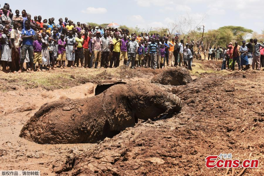 People watch as two of three elephants stuck in deep mud on the shores of the seasonal Lake Kapnarok, situated at the base of the Kerio valley, part of the Kenyan Rift Valley\'s ecosystem in Baringo County, are rescued on April 1, 2019. The three pachyderms ventured deep into the drying lake bed in an effort to reach the receding waters and ended up mired taking scores of villagers and a Kenya Wildlife Services (KWS) team six-hours to free the land giants. (Photo/Agencies)