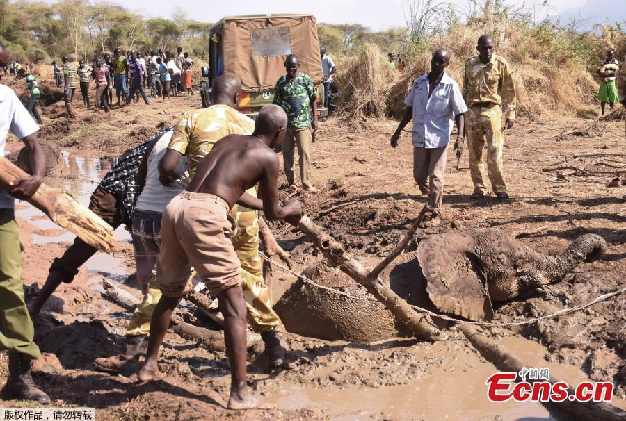 People look on as a young elephant, one of three, is rescued out of the deep mud on the shores of the seasonal Lake Kapnarok, situated at the base of the Kerio valley, part of the Kenyan Rift Valley\'s ecosystem in Baringo County, on April 1, 2019. The three pachyderms ventured deep into the drying lake bed in an effort to reach the receding waters and ended up mired taking scores of villagers and a Kenya Wildlife Services (KWS) team six-hours to free the land giants. (Photo/Agencies)