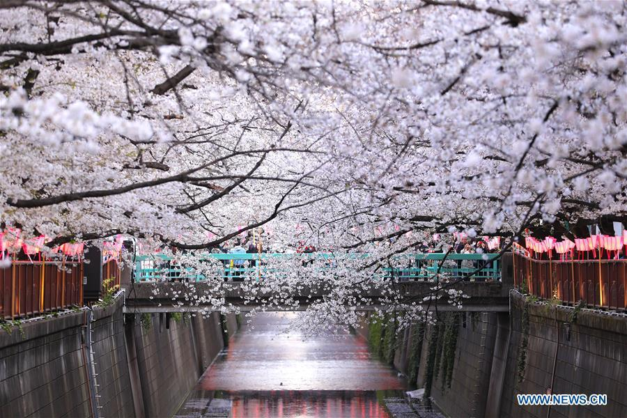 Photo taken on April 3, 2019 shows the cherry blossom on bank of Meguro river, in Tokyo, Japan. (Xinhua/Du Xiaoyi)