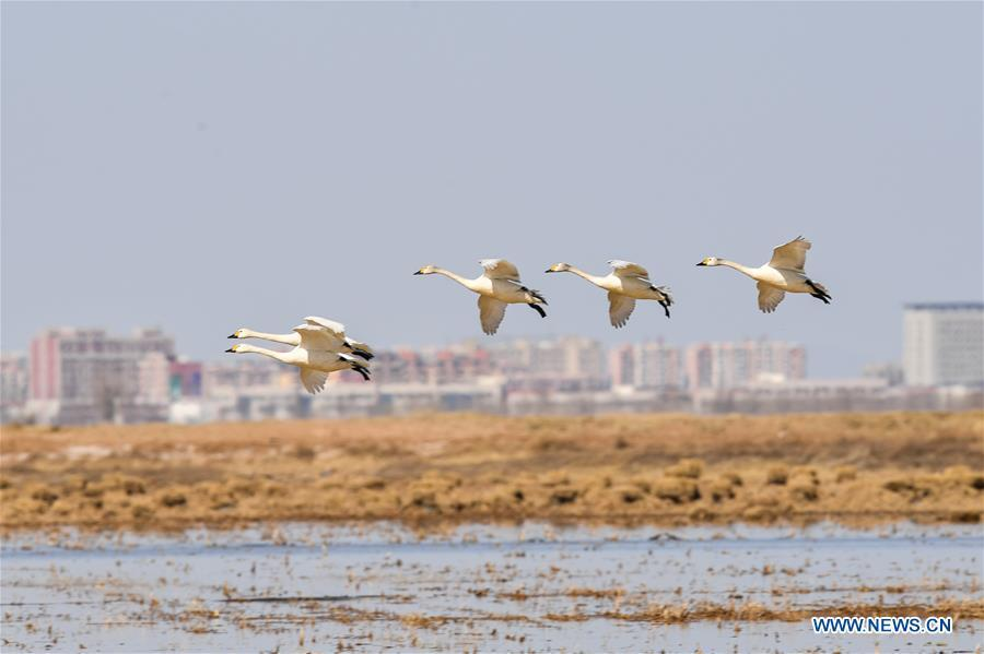 Swans fly above a shoal of the Yellow River in Hangjin Banner, north China\'s Inner Mongolia Autonomous Region on April 2, 2019. (Xinhua/Liu Lei)