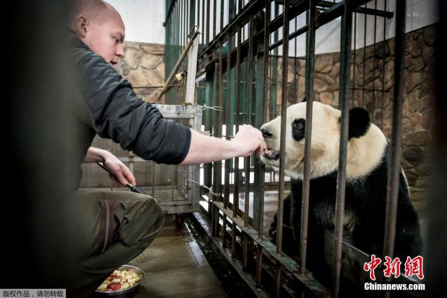 Danish zookeeper interacts with giant panda Xing Er at the Chengdu Research Base of Giant Panda Breeding in Chengdu City, Sichuan Province, April 3, 2019. Two giant pandas, Xing Er and Mao Er, will be transported to Copenhagen Zoo in Denmark from Chengdu on April 7. Denmark will be the ninth country in Europe to host pandas. (Photo/Agencies)