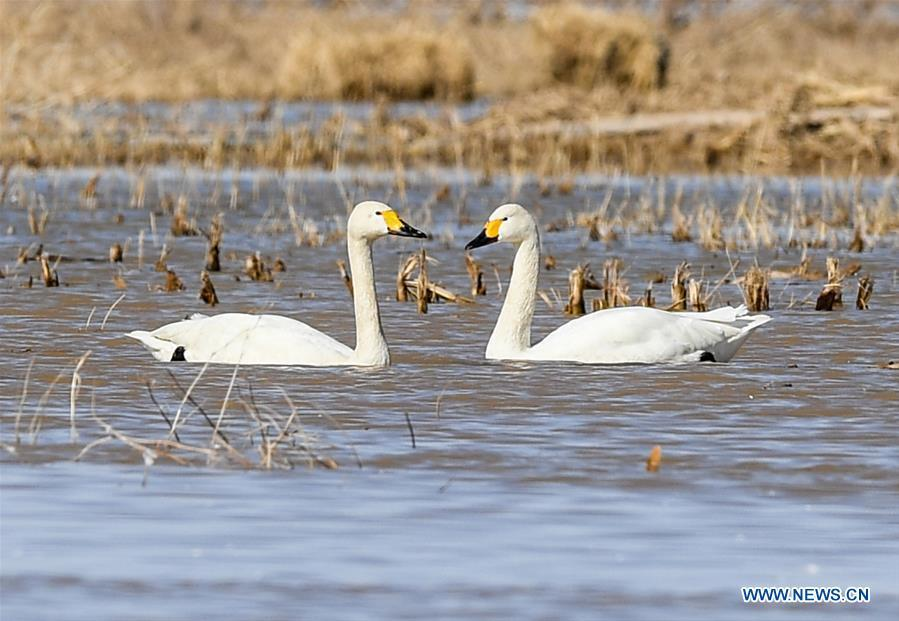 Swans are seen at a shoal of the Yellow River in Hangjin Banner, north China\'s Inner Mongolia Autonomous Region on April 2, 2019. (Xinhua/Liu Lei)
