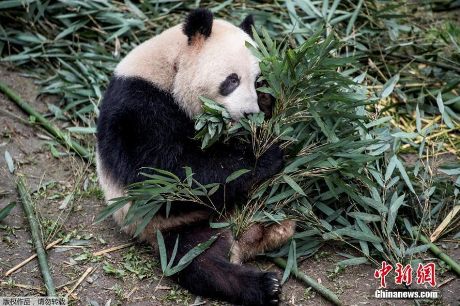Giant panda Xing Er chews bamboos at the Chengdu Research Base of Giant Panda Breeding in Chengdu City, Sichuan Province, April 3, 2019. Two giant pandas, Xing Er and Mao Er, will be transported to Copenhagen Zoo in Denmark from Chengdu on April 7. Denmark will be the ninth country in Europe to host pandas. (Photo/Agencies)