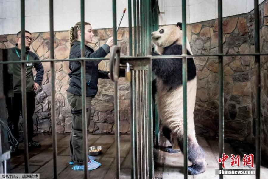 Danish zookeeper Pernille Goerup Andersen interacts with giant panda Xing Er at the Chengdu Research Base of Giant Panda Breeding in Chengdu City, Sichuan Province, April 3, 2019. Two giant pandas, Xing Er and Mao Er, will be transported to Copenhagen Zoo in Denmark from Chengdu on April 7. Denmark will be the ninth country in Europe to host pandas. (Photo/Agencies)