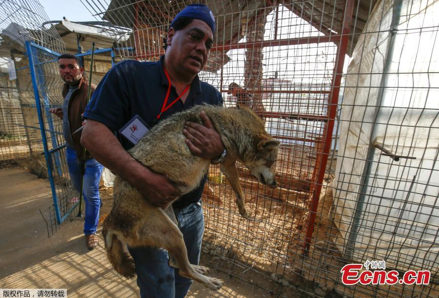 A sedated lioness is pictured in a cage at a zoo in Rafah in the southern Gaza Strip, during the evacuation by members of the international animal welfare charity \'Four Paws\' of animals from the Palestinian enclave to relocate to sanctuaries in Jordan, on April 7, 2019. Forty animals including five lions are to be rescued from squalid conditions in the Gaza Strip, an animal welfare group said. (Photo/VCG)