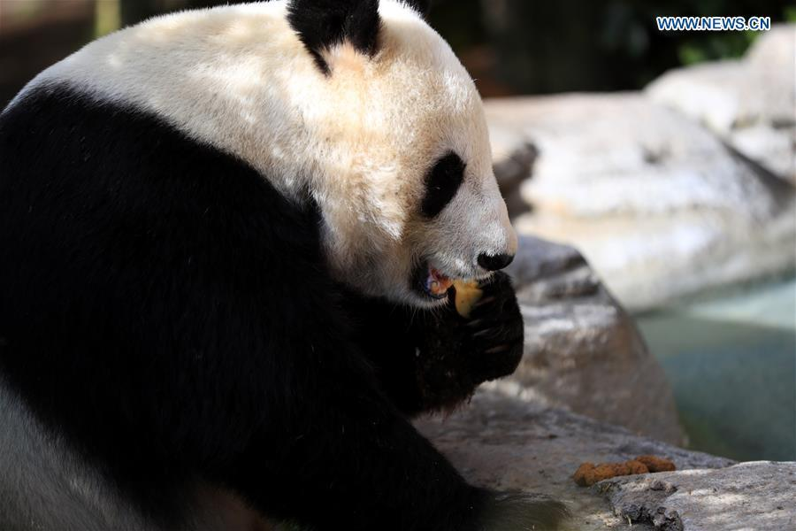Twenty-seven-year-old female giant panda Bai Yun eats fruit in San Diego Zoo in San Diego, the United States, April 6, 2019. The San Diego Zoo in the U.S. state of California held a special ceremony on Saturday to kick off a three-week farewell event for two giant pandas. Twenty-seven-year-old female giant panda Bai Yun and her son, six-year-old Xiao Liwu, will leave the zoo in late April and be sent back to China, as the zoo\'s conservation loan agreement with China has ended. (Xinhua/Li Ying)