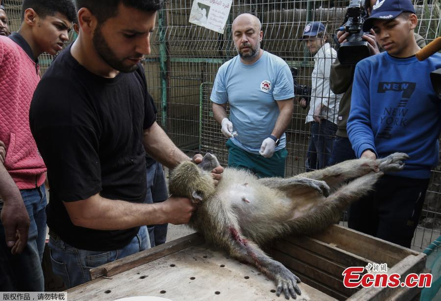 Members of the international animal welfare charity \'Four Paws\' carry a sedated monkey at a zoo in Rafah in the southern Gaza Strip, during the evacuation by the organisation of animals from the Palestinian enclave to relocate to sanctuaries in Jordan, on April 7, 2019. Forty animals including five lions are to be rescued from squalid conditions in the Gaza Strip, an animal welfare group said. (Photo/VCG)