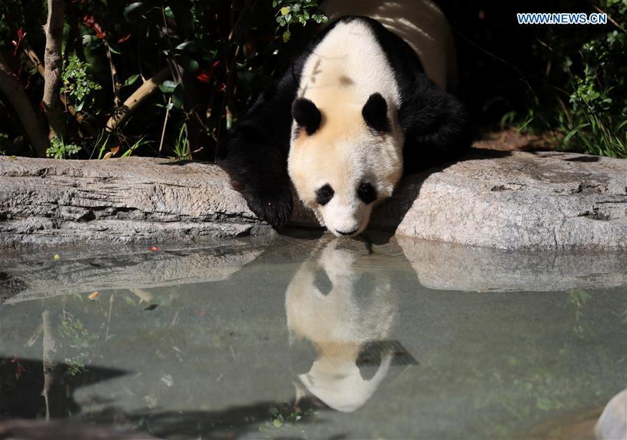 Twenty-seven-year-old female giant panda Bai Yun drinks water in San Diego Zoo in San Diego, the United States, April 6, 2019. The San Diego Zoo in the U.S. state of California held a special ceremony on Saturday to kick off a three-week farewell event for two giant pandas. Twenty-seven-year-old female giant panda Bai Yun and her son, six-year-old Xiao Liwu, will leave the zoo in late April and be sent back to China, as the zoo\'s conservation loan agreement with China has ended. (Xinhua/Li Ying)