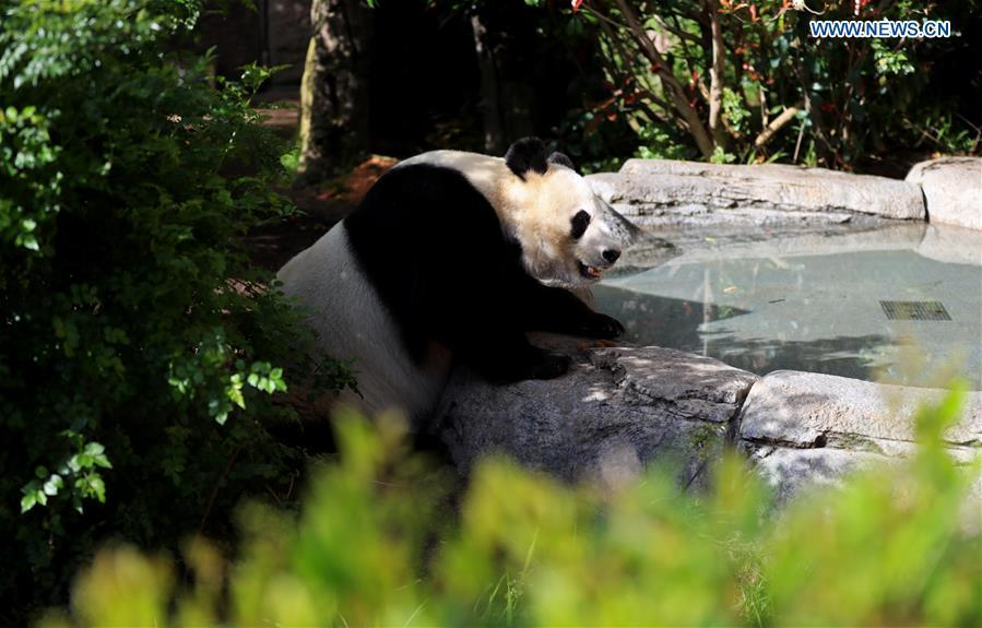 Twenty-seven-year-old female giant panda Bai Yun looks for water in San Diego Zoo in San Diego, the United States, April 6, 2019. The San Diego Zoo in the U.S. state of California held a special ceremony on Saturday to kick off a three-week farewell event for two giant pandas. Twenty-seven-year-old female giant panda Bai Yun and her son, six-year-old Xiao Liwu, will leave the zoo in late April and be sent back to China, as the zoo\'s conservation loan agreement with China has ended. (Xinhua/Li Ying)
