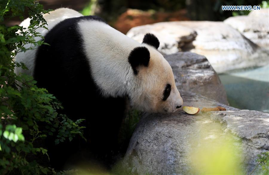 Twenty-seven-year-old female giant panda Bai Yun looks for food in San Diego Zoo in San Diego, the United States, April 6, 2019. The San Diego Zoo in the U.S. state of California held a special ceremony on Saturday to kick off a three-week farewell event for two giant pandas. Twenty-seven-year-old female giant panda Bai Yun and her son, six-year-old Xiao Liwu, will leave the zoo in late April and be sent back to China, as the zoo\'s conservation loan agreement with China has ended. (Xinhua/Li Ying)