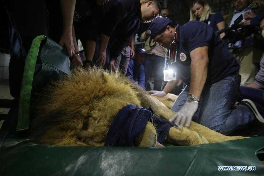 A lion is anesthetized in order to be transported from a zoo in the southern Gaza Strip City of Rafah, on April 6, 2019. International animal welfare organization FOUR PAWS planned to evacuate over 40 animals from a zoo in Rafah. (Xinhua/Khaled Omar)