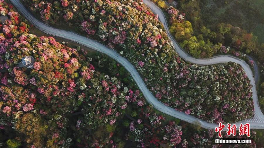 Azaleas in bloom adorn a scenic spot in Bijie City, Southwest China\'s Guizhou Province, as viewed from above on April 7, 2019. Extending for approximately 50 kilometres, the scenic spot encompasses the largest area of natural azaleas in China, with 23 varieties of the plant. (Photo: China News Service/Qu Honglun)