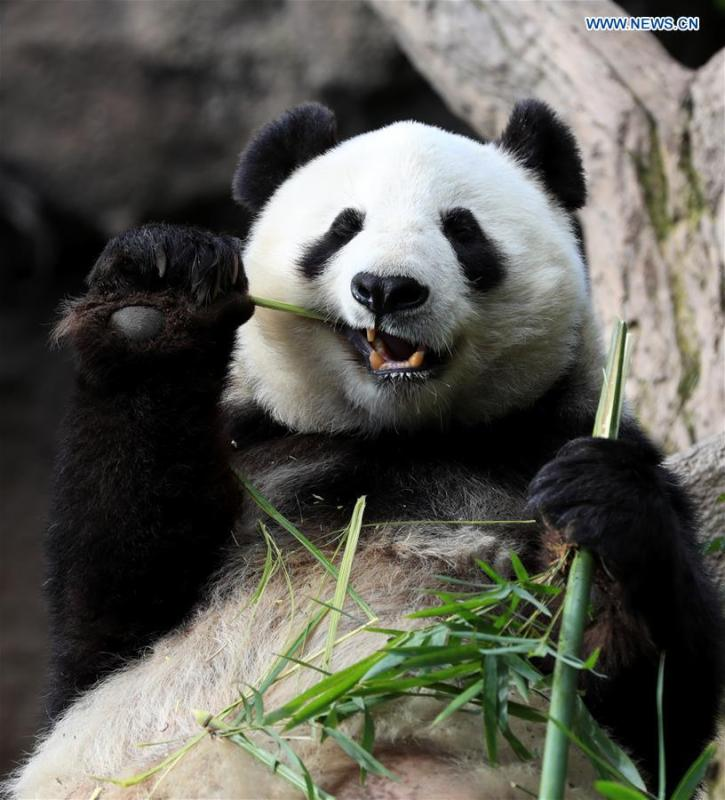 Twenty-seven-year-old female giant panda Bai Yun eats bamboo in San Diego Zoo in San Diego, the United States, April 6, 2019. The San Diego Zoo in the U.S. state of California held a special ceremony on Saturday to kick off a three-week farewell event for two giant pandas. Twenty-seven-year-old female giant panda Bai Yun and her son, six-year-old Xiao Liwu, will leave the zoo in late April and be sent back to China, as the zoo\'s conservation loan agreement with China has ended. (Xinhua/Li Ying)