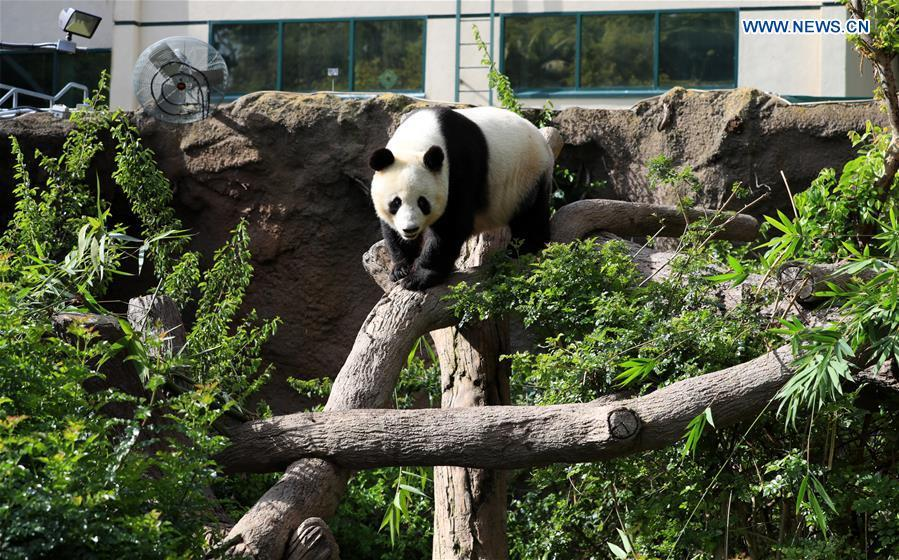 Twenty-seven-year-old female giant panda Bai Yun walks in San Diego Zoo in San Diego, the United States, April 6, 2019. The San Diego Zoo in the U.S. state of California held a special ceremony on Saturday to kick off a three-week farewell event for two giant pandas. Twenty-seven-year-old female giant panda Bai Yun and her son, six-year-old Xiao Liwu, will leave the zoo in late April and be sent back to China, as the zoo\'s conservation loan agreement with China has ended. (Xinhua/Li Ying)