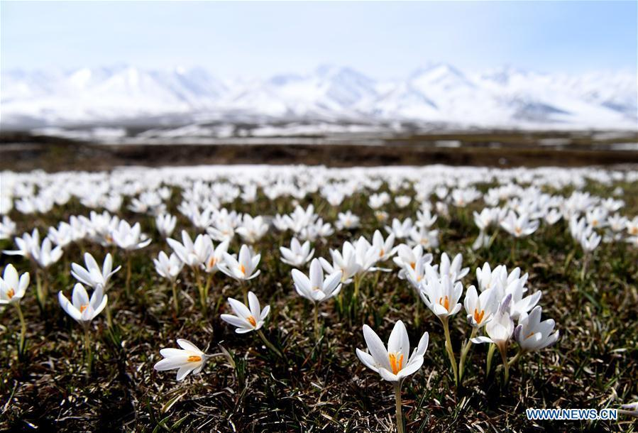 Photo taken on April 4, 2019 shows wild lily flowers at the Narat scenic spot in Xinyuan County, northwest China\'s Xinjiang Uygur Autonomous Region. (Xinhua/Sadat)