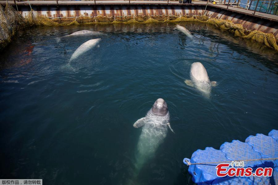 Photo shows a facility where nearly 100 whales, including orcas and beluga whales, are held in cages, during a visit of scientists representing explorer and founder of the Ocean Futures Society Jean-Michel Cousteau in a bay near the Sea of Japan port of Nakhodka in Primorsky Region, Russia, April 7, 2019. (Photo/Agencies)