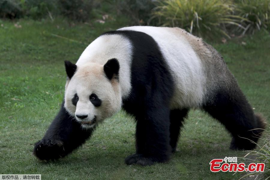 Chinese male panda bear Jiao Qing is seen in his compound at a zoo in Berlin, Germany. Giant pandas Meng Meng and Jiao Qing arrived in Berlin in 2017 from the panda breeding and research base in Chengdu, Southwest China. The panda pair will stay at the zoo, the oldest in Germany, for 15 years. (Photo/Agencies)