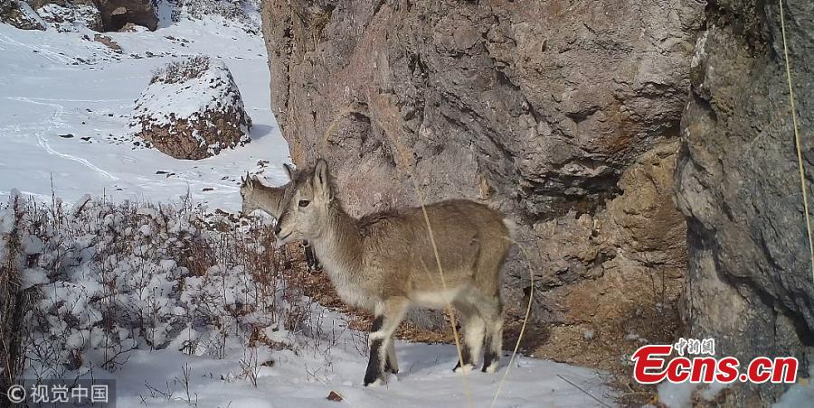 Rare wild animals such as snow leopards, blue eared pheasants, wolves, and bharal have been recorded by infrared cameras in the Shandan Horse Ranch natural reserve, Gansu Province. The Qilian Mountain Administration and the World Wide Fund for Nature (WWF) are conducting research in the reserve.  (Photo/VCG)