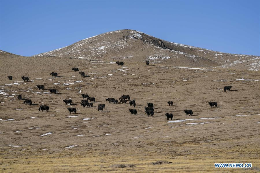 Photo taken on March 30, 2019 shows a herd of wild yaks in the Altun Mountains National Nature Reserve in northwest China\'s Xinjiang Uygur Autonomous Region. Altun Mountain National Nature Reserve saw the number of three rare wild animals reach around 100,000, according to local researchers. The population of wild yak, Tibetan antelope and wild ass is recovering to the level of recorded data in the 1980s when the reserve was first set up, the results of the latest scientific investigation showed. The reserve suspended all mining activities within its 46,800-square-km parameter in 2018 in an effort to restore its environment. (Xinhua/Hu Huhu)