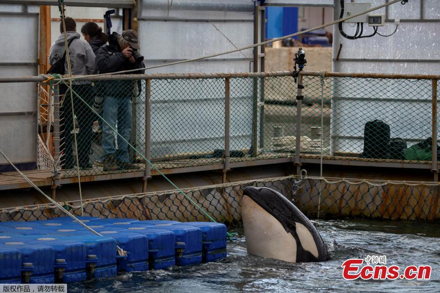 Photo shows a facility, where nearly 100 whales including orcas and beluga whales are held in cages, during a visit of scientists representing explorer and founder of the Ocean Futures Society Jean-Michel Cousteau in a bay near the Sea of Japan port of Nakhodka in Primorsky Region, Russia April 7, 2019. (Photo/Agencies)