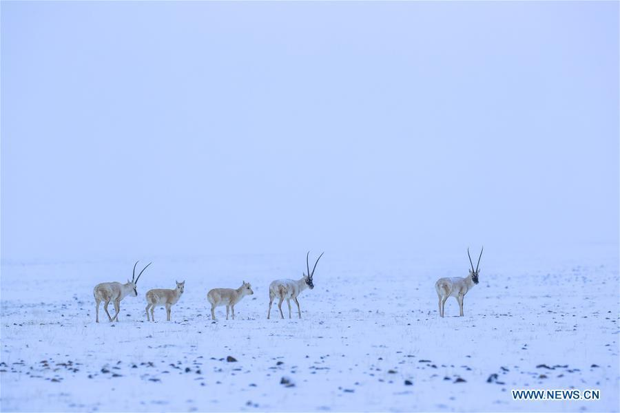 Photo taken on March 31, 2019 shows Tibetan antelopes in the Altun Mountains National Nature Reserve in northwest China\'s Xinjiang Uygur Autonomous Region. Altun Mountain National Nature Reserve saw the number of three rare wild animals reach around 100,000, according to local researchers. The population of wild yak, Tibetan antelope and wild ass is recovering to the level of recorded data in the 1980s when the reserve was first set up, the results of the latest scientific investigation showed. The reserve suspended all mining activities within its 46,800-square-km parameter in 2018 in an effort to restore its environment. (Xinhua/Hu Huhu)