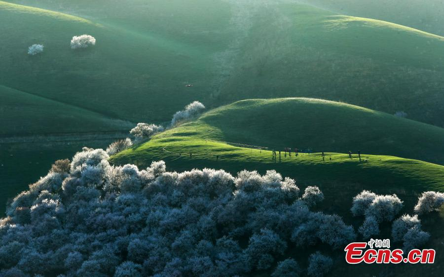 Photo taken on April 5, 2019 shows the Peach Blossom Valley in Tuergen Township, Xinyuan County, Northwest China\'s Xinjiang Uygur Autonomous Region. The valley has an area of 30,000 mu (2,000 hectares) of  peach trees, drawing tourist and photographers in mid-April when they burst into bloom. (Photo: China News Service/Zhong Yanming)