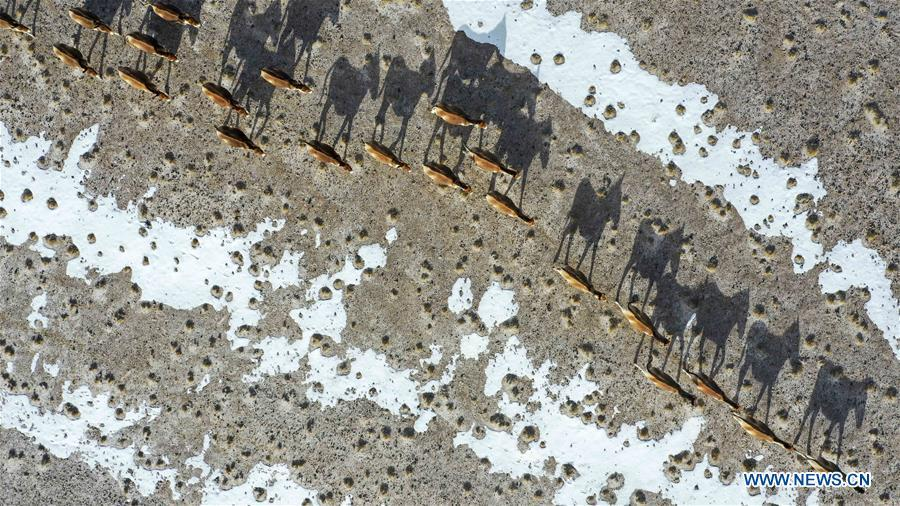 Aerial photo taken on April 2, 2019 shows a herd of kiangs in the Altun Mountains National Nature Reserve in northwest China\'s Xinjiang Uygur Autonomous Region. Altun Mountain National Nature Reserve saw the number of three rare wild animals reach around 100,000, according to local researchers. The population of wild yak, Tibetan antelope and wild ass is recovering to the level of recorded data in the 1980s when the reserve was first set up, the results of the latest scientific investigation showed. The reserve suspended all mining activities within its 46,800-square-km parameter in 2018 in an effort to restore its environment. (Xinhua/Hu Huhu)