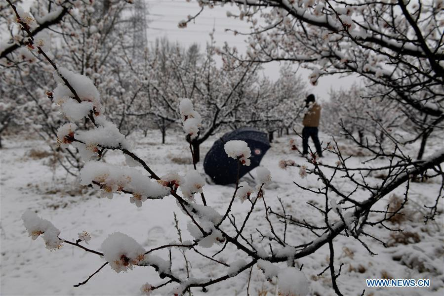 Photo taken on April 9, 2019 shows the snowy scenery at an apricot garden in Yanqing District in Beijing, capital of China. (Xinhua/Jia Deyong)